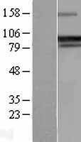 NBL1-14676 - GADD34 Lysate