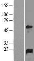 NBL1-10934 - GADD45A Lysate