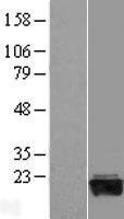 NBL1-10935 - GADD45G Lysate