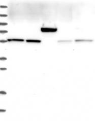NBP1-85852 - GADL1