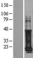 NBL1-10939 - GAGE7 Lysate