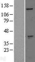 NBL1-10941 - GAK Lysate