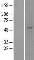 NBL1-10943 - GAL3ST1 Lysate