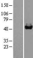 NBL1-10949 - GALK2 Lysate