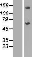 NBL1-10953 - GALNT14 Lysate