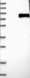 NBP1-86059 - GALNT6