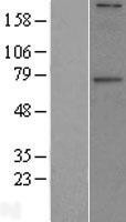 NBL1-10957 - GALNT6 Lysate
