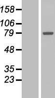 NBL1-10958 - GALNT7 Lysate