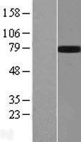NBL1-10959 - GALNTL2 Lysate