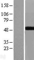 NBL1-10964 - GALT Lysate
