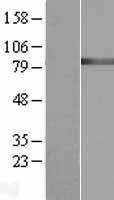 NBL1-10970 - GARS Lysate