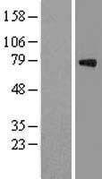 NBL1-10974 - GAS 6 Lysate
