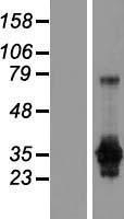 NBL1-10971 - GAS2 Lysate
