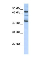 NBP1-58112 - GAS2-like protein 1