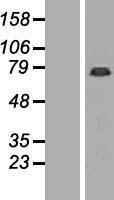 NBL1-10972 - GAS2L1 Lysate