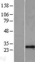 NBL1-17927 - GAS41 Lysate