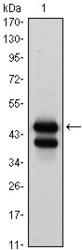 NBP1-47492 - GATA1