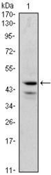 NBP1-47395 - GATA1