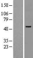 NBL1-10980 - GATA2 Lysate