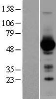 NBL1-10983 - GATA4 Lysate