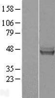 NBL1-10988 - GATM Lysate