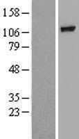 NBL1-10991 - GBA2 Lysate