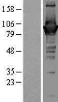 NBL1-10996 - GBP1 Lysate