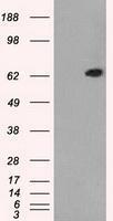 NBP1-47768 - GTP-binding protein 2 / GBP2