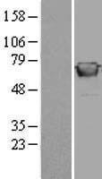 NBL1-10997 - GBP2 Lysate
