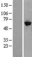 NBL1-10998 - GBP5 Lysate