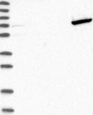 NBP1-84117 - GTP-binding protein 6 / GBP6