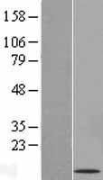 NBL1-11004 - GCET2 Lysate