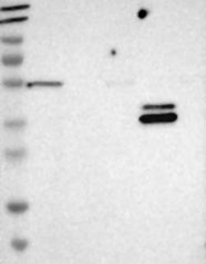 NBP1-88313 - GCNT3