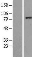 NBL1-10096 - GCR2 Lysate