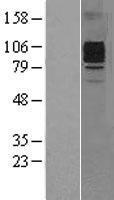 NBL1-09520 - GCSF Receptor Lysate