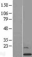 NBL1-11020 - GCSH Lysate