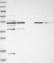 NBP1-84429 - GDAP1