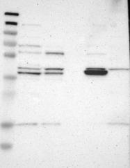 NBP1-84430 - GDAP1