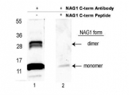 NBP1-42720 - GDF15
