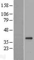 NBL1-11024 - GDF15 Lysate