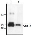 NBP1-45593 - GDF3