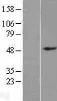 NBL1-11028 - GDF6 Lysate