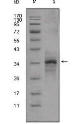 NBP1-47388 - Myostatin