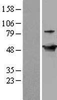 NBL1-11030 - GDI2 Lysate