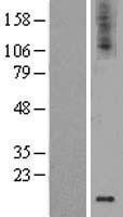 NBL1-11032 - GDNF Lysate