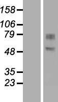 NBL1-11033 - GDPD2 Lysate