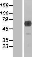 NBL1-11035 - GEFT Lysate