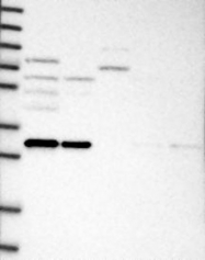 NBP1-83925 - Gemin-8