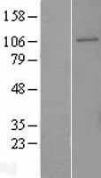 NBL1-11042 - GEN1 Lysate