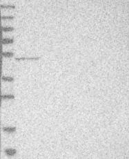 NBP1-89776 - TRIM8 / GERP / RNF27